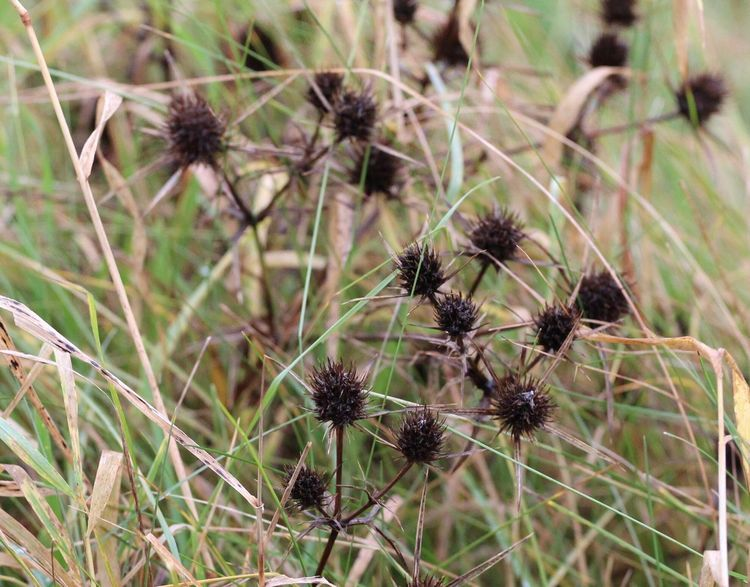 Nature Flower Plant Focus On Foreground No People Day Thistle Dried Plant Close-up Fragility Flower Head Outdoors Scenics Autumn Autumn17 Herbst17 🦋 Beauty In Nature Nature