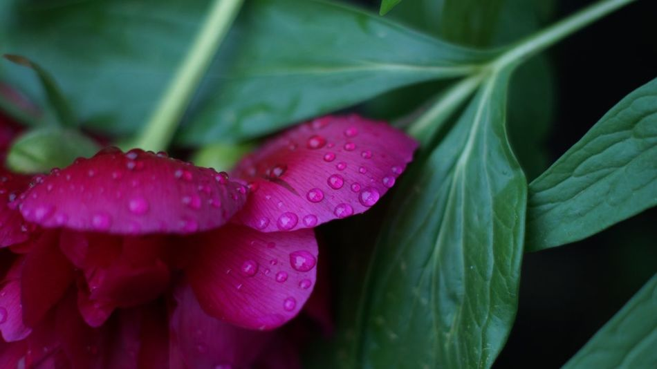 Growth Plant Drop Beauty In Nature Water Close-up Vulnerability  Wet Flower Flowering Plant Pink Color Purple Nature