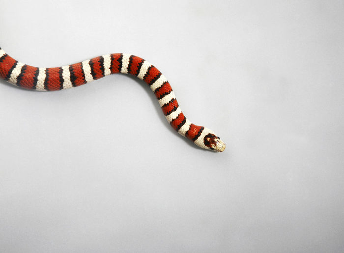 Top view Gray Banded Kingsnake Cold Blooded Creatures Reptile Scaled Snake Species Animal Animal Themes Animal Wildlife Endemic Gray-banded Gray-banded Kingsnake King Snake Kingsnake Lamprotornis Alterna Nonvenomous White Background