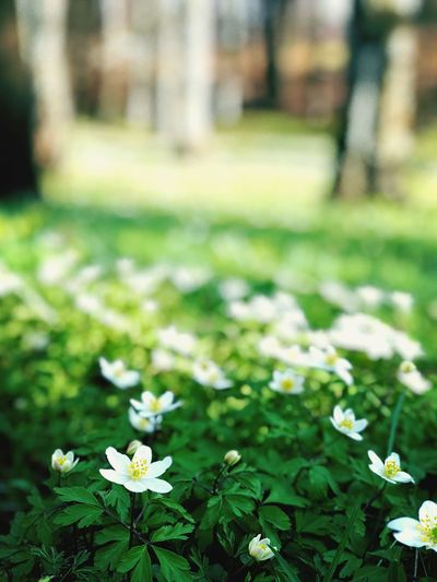 Spring 2018 Spring Springfeeling  Naturephotography IPhoneX Iphonexphotography Flowering Plant Plant Freshness Fragility Vulnerability  Nature Beauty In Nature Day Close-up White Color Flower Head Green Color Park No People