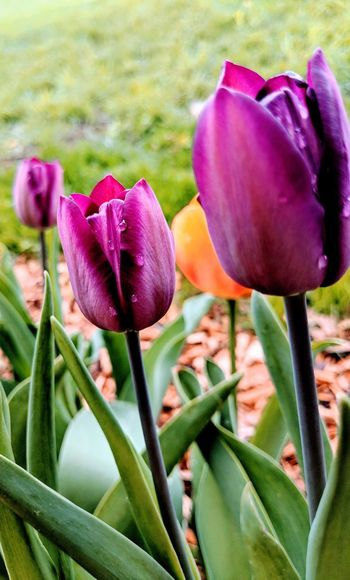 Tulips Tulips🌷 Tulips Flowers Spring Springtime Spring Flowers Garden Photography Gardening Instaflower Flower Head Flower Petal Purple Close-up Blooming Plant Tulip Plant Bulb In Bloom Botany Blossom Plant Life