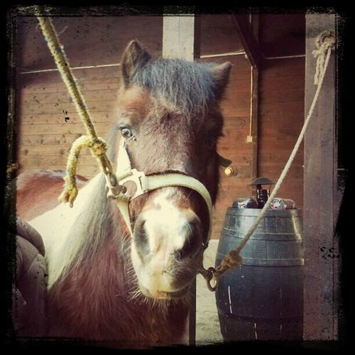 Gaston. Pony a Silverado Ranch. Horses Western Riding