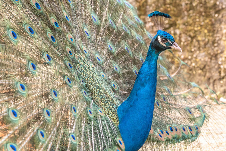 Peacock Animal Themes Animal Bird One Animal Animal Wildlife Vertebrate Animals In The Wild Blue No People Nature Male Animal Peacock Feather Feather  Beauty In Nature Day Animal Body Part Close-up Fanned Out Animal Head  Beak Animal Neck Animal Eye Vanity Pride Natural Pattern Showing Multi Colored Outdoors Animal Behavior Vibrant Color Animals Mating Standing Out From The Crowd Luxury Showing Off Bright Elégance Individuality Exoticism