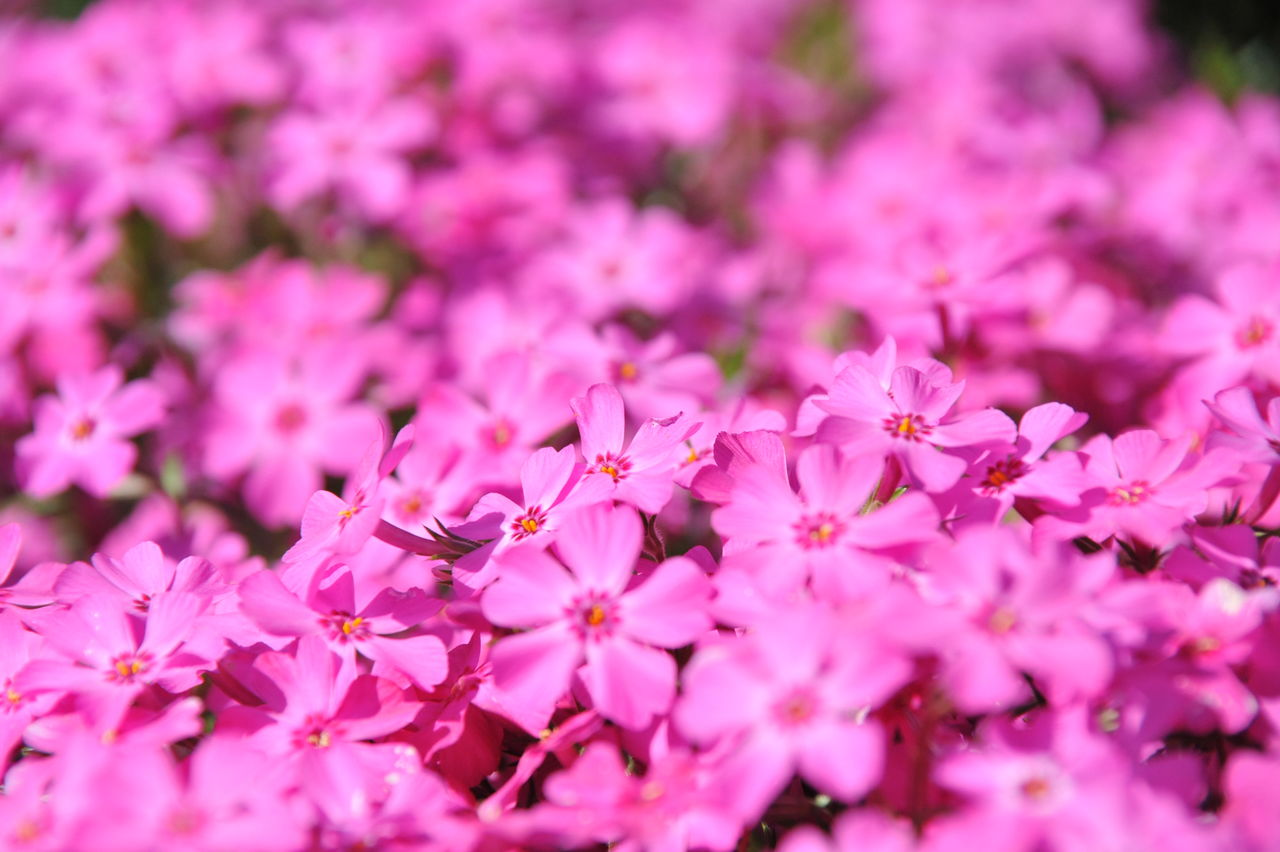 Full Frame Shot Of Pink Flowers On Sunny Day