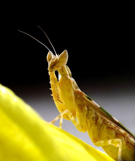 Hello 💛 Mantis