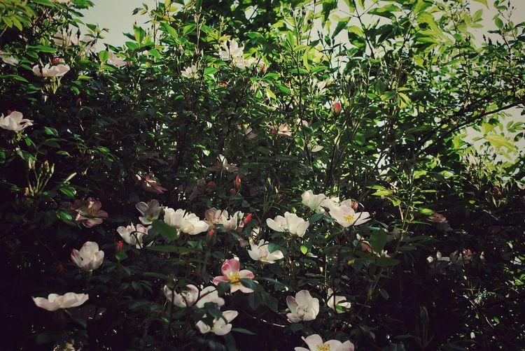 Flowes Bloemen Flori White Flower Roses Trandafir Rozen Fleurs Spring Lente Primavara
