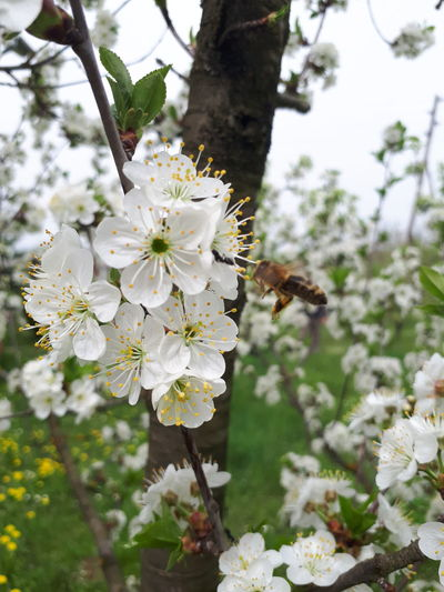 Close-up of insect on white cherry blossom tree