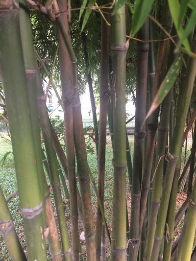 Through bamboo grow Growth Nature Bamboo - Plant Bamboo Grove Tree Plant Forest Finding New Frontiers