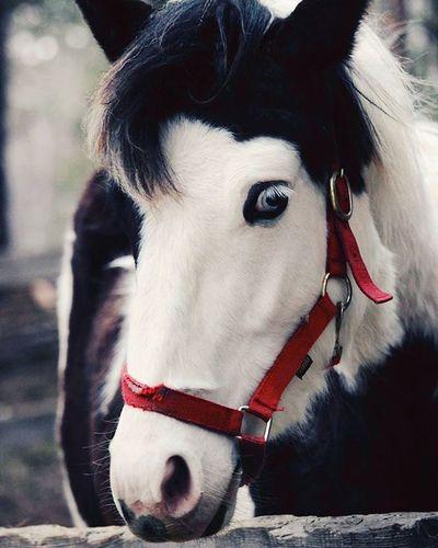 лошадь лошадка черноеибелое узда синеглазка синеглазая красавица морда голова  Horse Blackandwhite BlueEyes Blue Beauty Beautiful Nice милая голубоглазая красная нос глаза  цветанеба цветанежности атмосфера Atmosphere конноспортивныйклуб horseclub red skycolor eyes