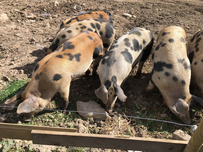 Animal Themes Mammal Day High Angle View Domestic Animals Outdoors No People Young Animal Piglet Livestock Close-up