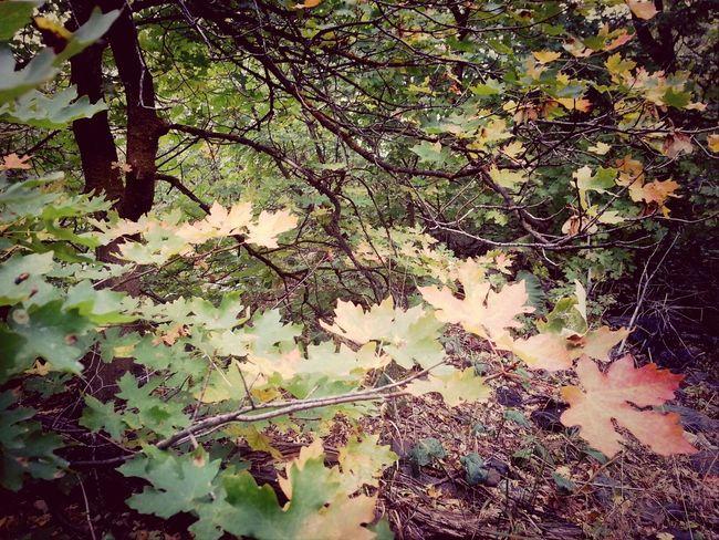 EarlGrey Autumn Leaves