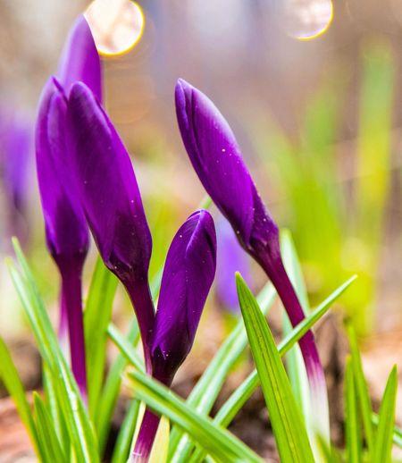 Close-up of purple crocus flower