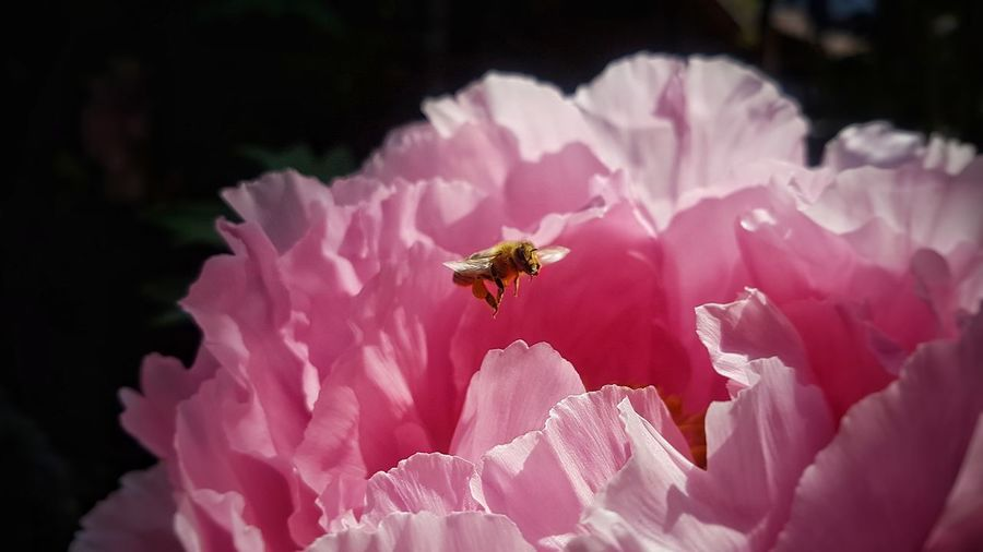 bee Nature Photography Springtime Nature Sunshine Focusobject Focus On Details Beautiful Love Fragility Focus On Foreground EyeEm Gallery EyeEm Nature Lover Flower Flower Head Bee Buzzing Pollination Pink Color Insect Petal Honey Bee Close-up Bumblebee Pollen Blooming Hibiscus Fly Stamen In Bloom Single Flower