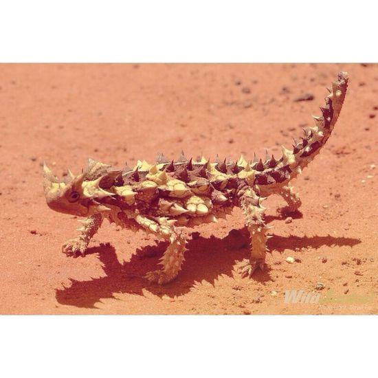 I don't know what makes this cool guy my favourite animal Thorny Devil Australia Desert Animal