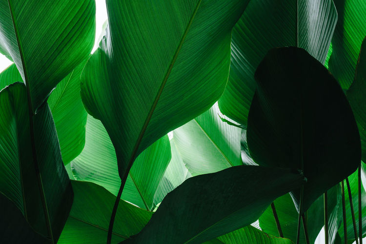 Shade of green colour leaves with sunlight. Green Leaves🌿 Nature Tropical Forest Foliage Freshness Garden Green Color Green Foliage Green Shade Jungle Leaf Leaves Nature Palm Leaf Palm Tree Plant Plant Part Rainforest Sunlight Tropical Tropical Climate Tropical Plants Tropical Tree