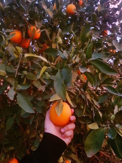 Orange S8Photography Sweet Fruit Healthy Fruit Orange Orange Tree Fruit Growth Leaf Human Hand Agriculture Food And Drink Freshness One Person Tree Nature Healthy Eating Food Adult Beauty In Nature Holding Orange Color Real People