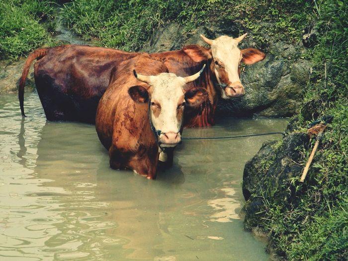 what!? Water Cow Standing Water Buffalo Livestock Farm Animal Bull Muddy Buffalo Mud Domesticated Animal Tag