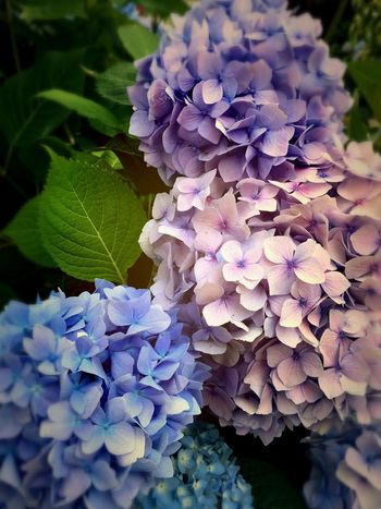 Her Majesty Hydrangea! Hydrangea Summer Flowers Colors Of Nature Colors And Textures Of Nature For My Friends That Connect Have A Nice Day!
