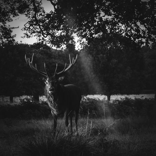 Animal Themes Tree One Animal Field Nature No People Animals In The Wild Standing Antler Grass Forest Day Outdoors Stag Mammal