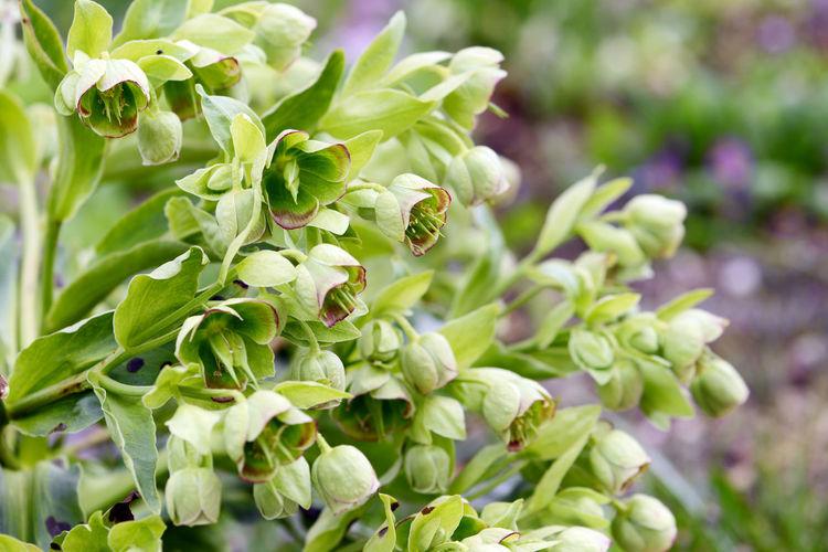 stinking hellebore (Helleborus foetidus) blossom in springtime. Flower Green Green Color Green Color Green Flower Green Flowers  Hellebore Helleborus Helleborus Foetidus Leaf Nature Plant Stinking Hellebore