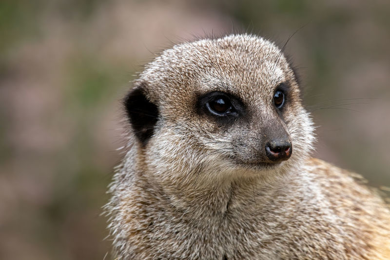 Adult Africa Animal Art Background Body Brown Closeup Eye Face Fauna Fur Hair HEAD Herpestidae Leather Life Look Looking Mammal Meerkat Mongoose Natural Nature Neck Outdoors Portrait Standstill Suricata Suricate Suricatta Surikate Wild Wilderness Wildlife