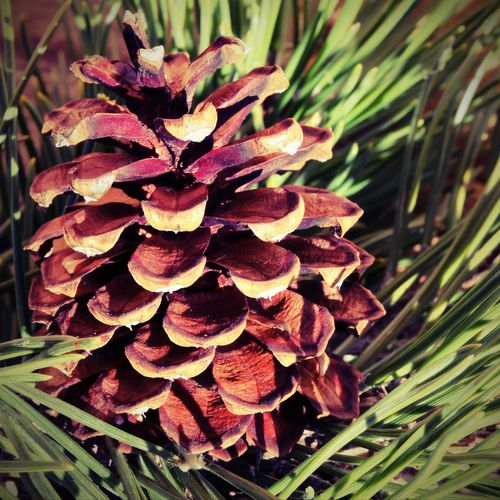 dry pine cone with green pine needles with vintage effect MountainPines Pine Background Backgrounds Cone Conifer  Coniferous Tree Dwarf Mountain Pine Dwarf Mountainpine Effect Leaves Lomo Mugo Nature Needle Needle - Plant Part Needles Pine Cone Pine Cones On Pine Tree Pine Tree Pino Mugo Plant Vintage