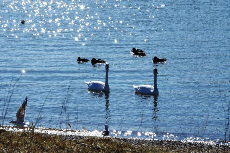 EyeEm Nature Lover I LIKE👍EyeEm😃👍 I LOVE PHOTOGRAPHY Rhein Schwäne Wasservogel Blue Cold And Sunny  Leverkusen