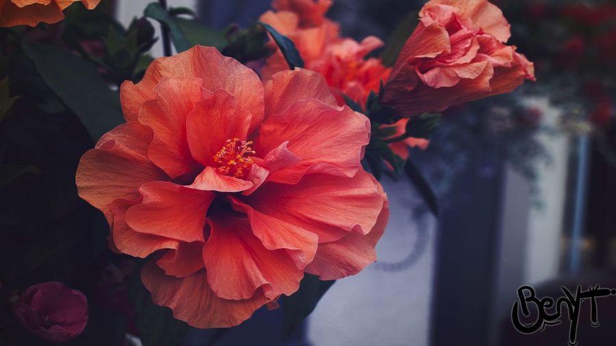 Voici une magnifique petite fleur avec de belles couleurs :D Beauty In Nature Day Flower Nature No People Orange Color Petal Plant First Eyeem Photo