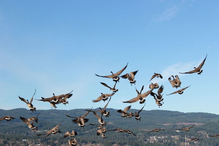 Canada geese flying against mountain