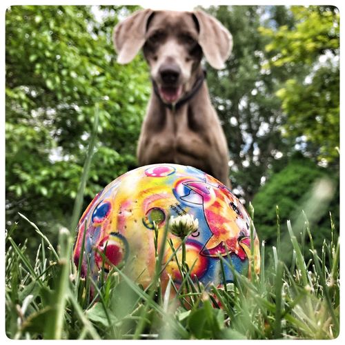 Dog Love Dog Weimeraner Ball Playground Grass Check This Out Taking Photos Enjoying Life