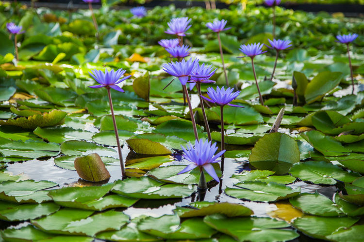 Lotus Flower Pink Water Pond Blossom Beautiful Nature Plant Green Aquatic Lily Tropical Waterlily Flora Petal Bloom Summer Beauty Background Natural Lake Elégance Park Garden Purple Violet Romance Foliage Oriental Blooming Spring Leaf Pool Floral Peace Decoration Marina Bay Singapore Front