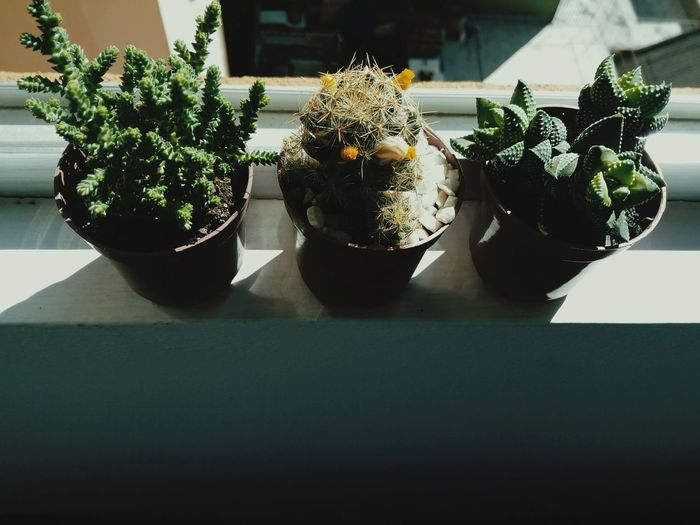 EyeEm Selects Potted Plant Table Plant Nature Indoors  No People Herb Day Flower Close-up Freshness Nature Growth Cactus Cactus Flower Light And Shadow Green