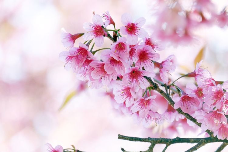 Almond Tree Beauty Beauty In Nature Blossom Branch Cherry Blossom Close-up Day Flower Flower Head Fragility Freshness Growth Nature No People Outdoors Petal Pink Color Plant Plum Blossom Springtime Sunlight Tree