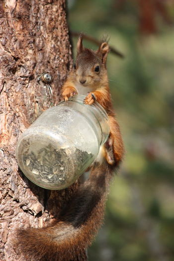 Close-up of squirrel eating food from jar on tree trunk