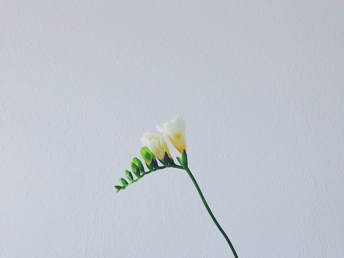 One Day//. ⚪️ Flowers Flowerporn Nature Minimalism Minimal Plant Blooming White Life Focus On Foreground Close-up Freshness Fresh Green Beauty In Nature Spring Nature_collection Detail Modern Lifestyles Indoors  Still Life Holding Fine Art Photography Beautifully Organized