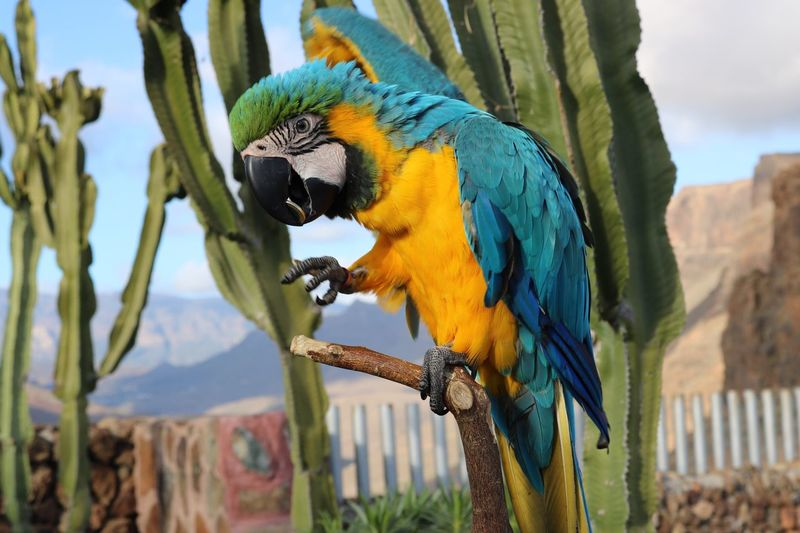 Close-Up Of Gold And Blue Macaw Perching On Branch Against Cactus