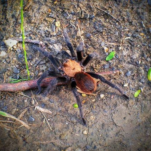 Almost crawled over my foot today on a hike. Couldn't resist the picture opportunitySpider Tarantula The Great Outdoors - 2016 EyeEm Awards Dangerous Scary