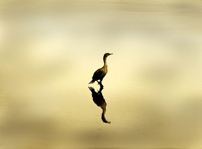 Reflection Of Cormorant On Wet Shore During Sunset