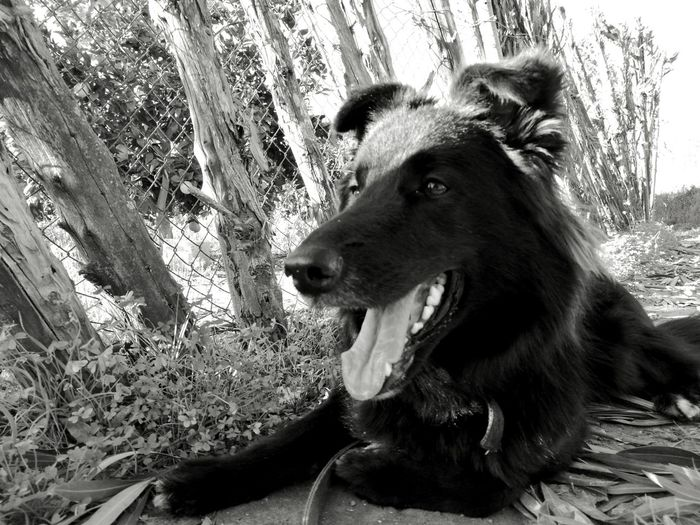 One Animal Animal Themes Domestic Animals Mammal Pets Dog Mouth Open No People Close-up Outdoors Tree Day Nature German Shepherd Dog Portrait Groundlevel Beauty In Nature Black And White Black & White Animals In The Wild Nature Uniqueness