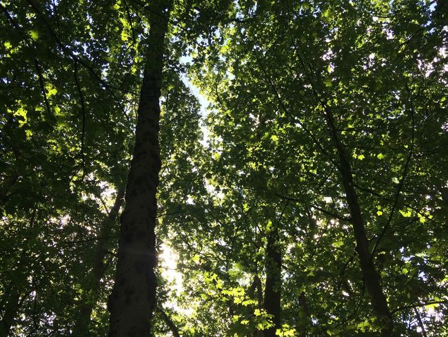 Sunlight through tree canopy Sunlight Tree Trees Leaves Woods Woodlands Woodland Walk Hutton