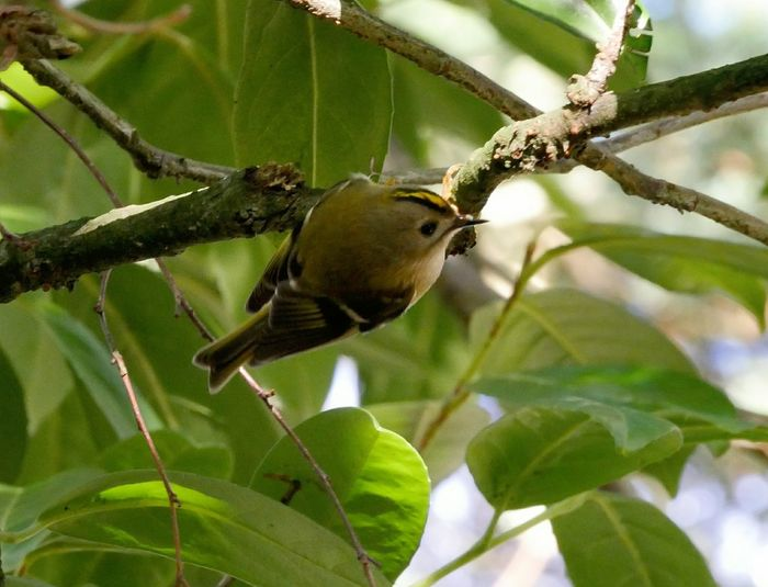Goldcrest Nature Beauty In Nature Bird Tiny Animal Wildlife Leaf Tree Close-up Perching Branches Outdoors Animals In The Wild Birds In The Wild The Week On EyeEm