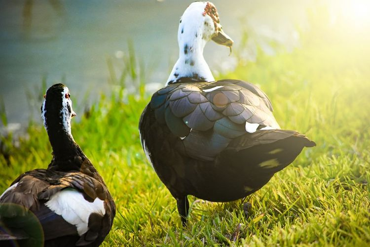 Bird Animals In The Wild Animal Wildlife Animal Duck Grass Day Nature Outdoors No People