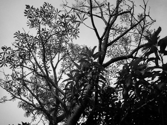Tree view from below with black & white effect Tree Black And White Black And White Nature Black And White Collection  White Black Black And White Tree Black And White Blackandwhite Photography Tree Branch Leaf Sky Twig Plant Life Botany