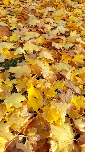 Canadian Outdoors Autumn Leaf Autumn Leaves Autumn Autumn Colors Trees Canada Leaf Fall Fall Leaves Fall Colors Day Close-up Yellow Yellow Leaves 캐나다 단풍 가을 정서 가을 낙옆