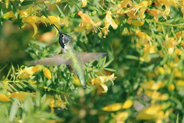 Hummingbird Pollinating On Yellow Flower