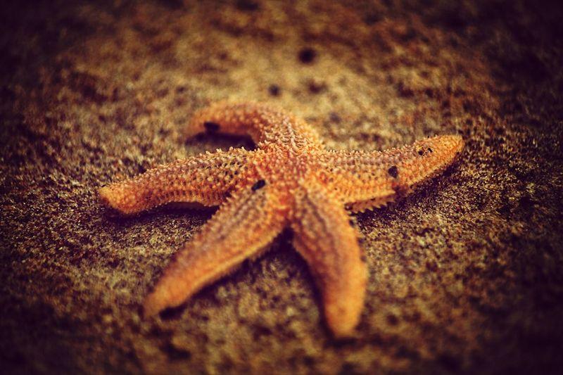 Starfish  Beach Macro Sand