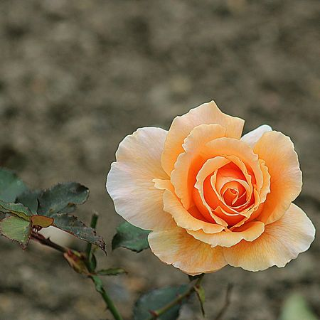 GOOD MORNING AND HAPPY SUNDAY! Flowerforfriends Floralperfection Beautiful Rose Colour