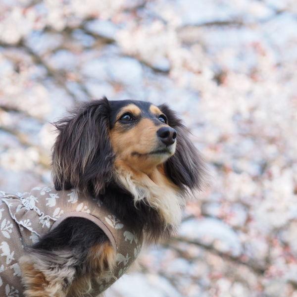 Dogs Of EyeEm Minituredachshund Dachshund 愛犬 お散歩 Dog Walking 桜 Cherry Blossoms Dog ミニチュアダックス