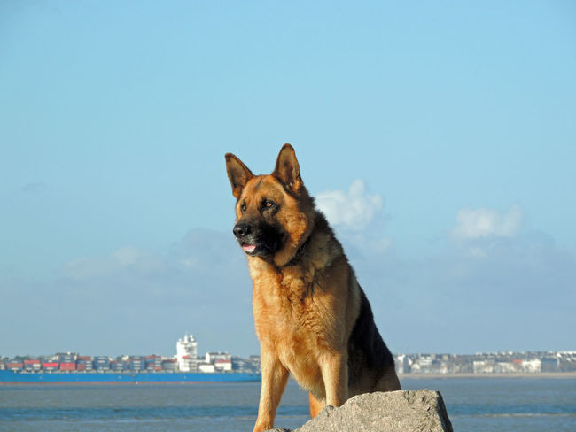 Animal Love Animal Themes Dog Domestic Animals Friend German Shepherd Outdoors Pets Portrait Pet Portraits