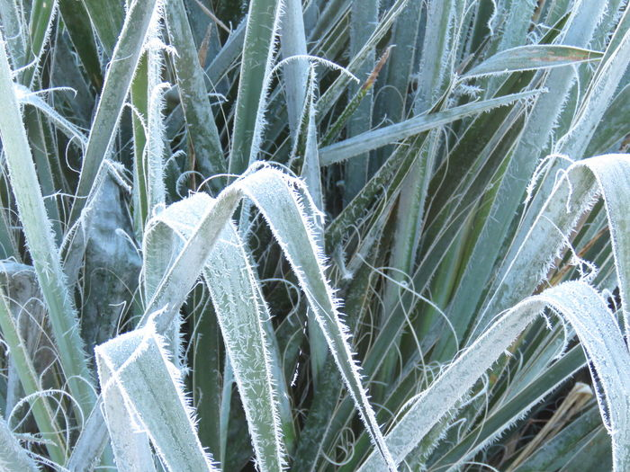 No People Nature Day Close-up Beauty In Nature Plant Leaf Plant Part Green Color Growth Spears Frosty Morning. Art In Nature Artistic Plant Frost On Plant Yucca Plant Threads Crazy Plant Sharp Pokey Plant